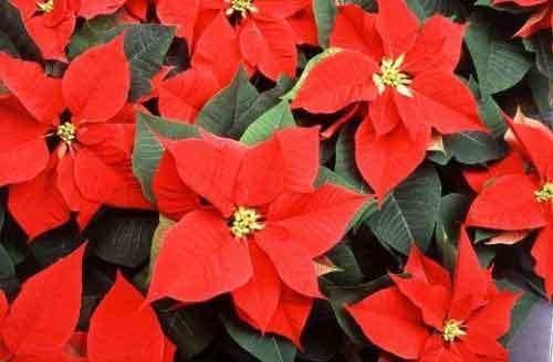 різдвяна зірка пуансетія