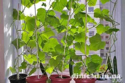 технологія вирощування огірків на підвіконні