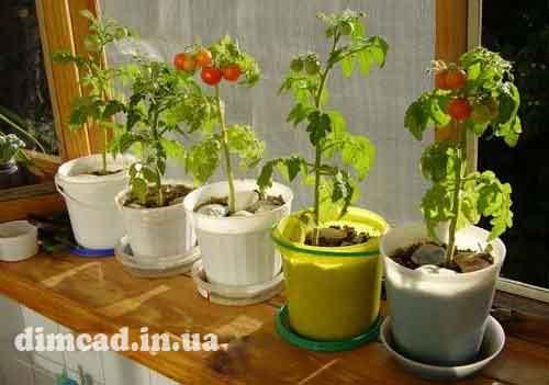 вирощування помідорів взимку в теплицях