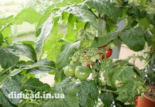 технологія вирощування помідорів у відкритому грунті