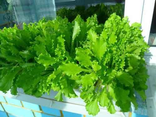 вирощування зелені салату взимку