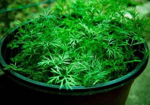 вирощування зелені в теплиці кріп