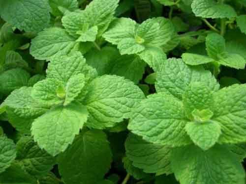 м'ята фото лікарська рослина