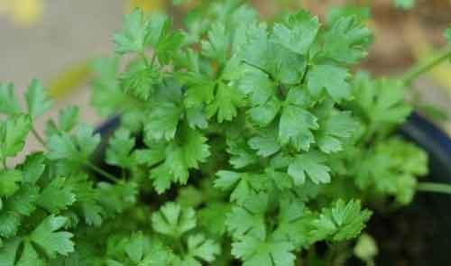 вирощування  взимку теплиця зелень петрушка