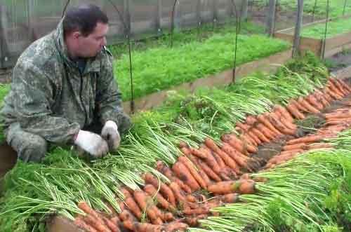 технологія вирощування моркви висока грядка